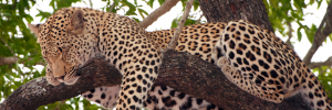 leopard-in-tree